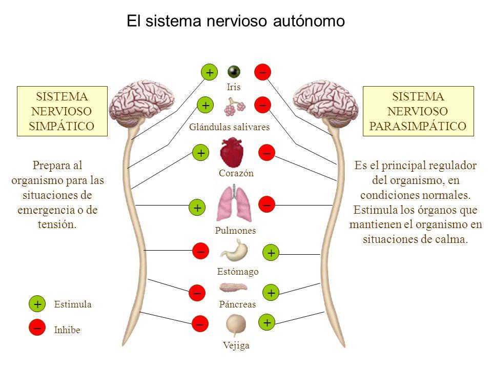 El sistema nervioso autónomo SISTEMA NERVIOSO SIMPÁTICO SISTEMA NERVIOSO PARASIMPÁTICO Prepara al organismo para las situaciones de emergencia o de te