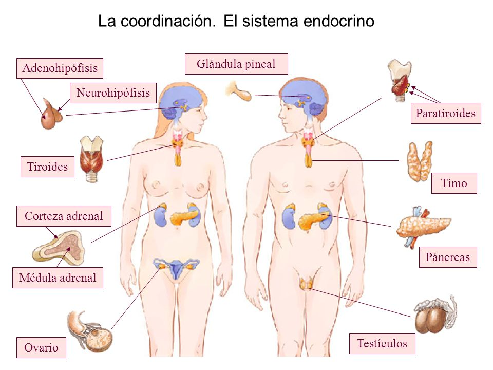 La coordinación. El sistema endocrino Ovario Tiroides Glándula pineal Páncreas Timo Testículos Paratiroides Neurohipófisis Adenohipófisis Corteza adre