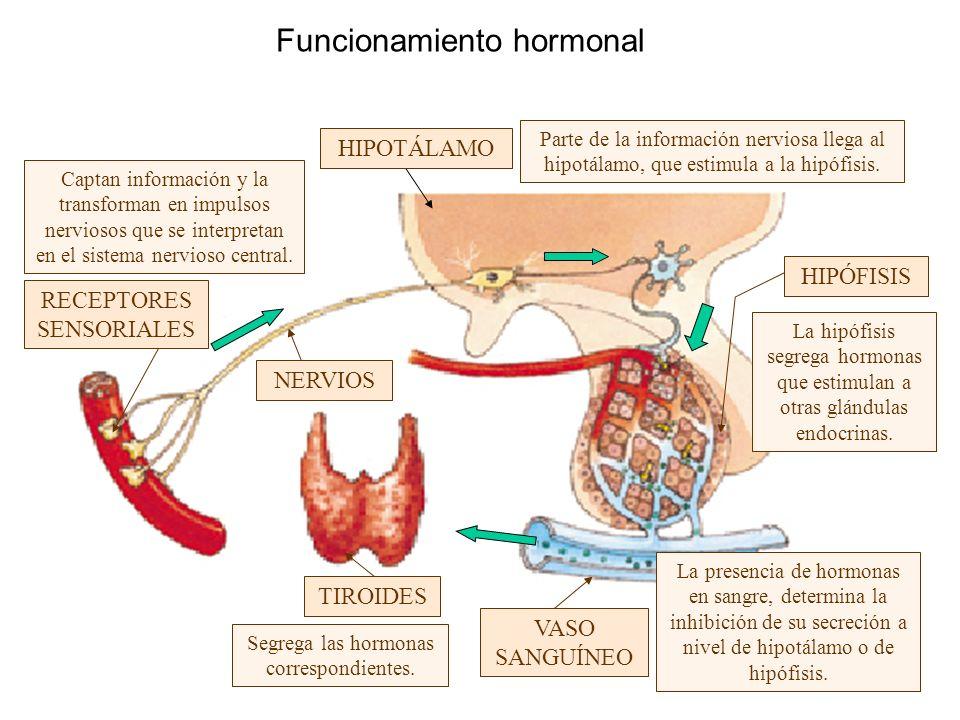 Funcionamiento hormonal Captan información y la transforman en impulsos nerviosos que se interpretan en el sistema nervioso central. Segrega las hormo