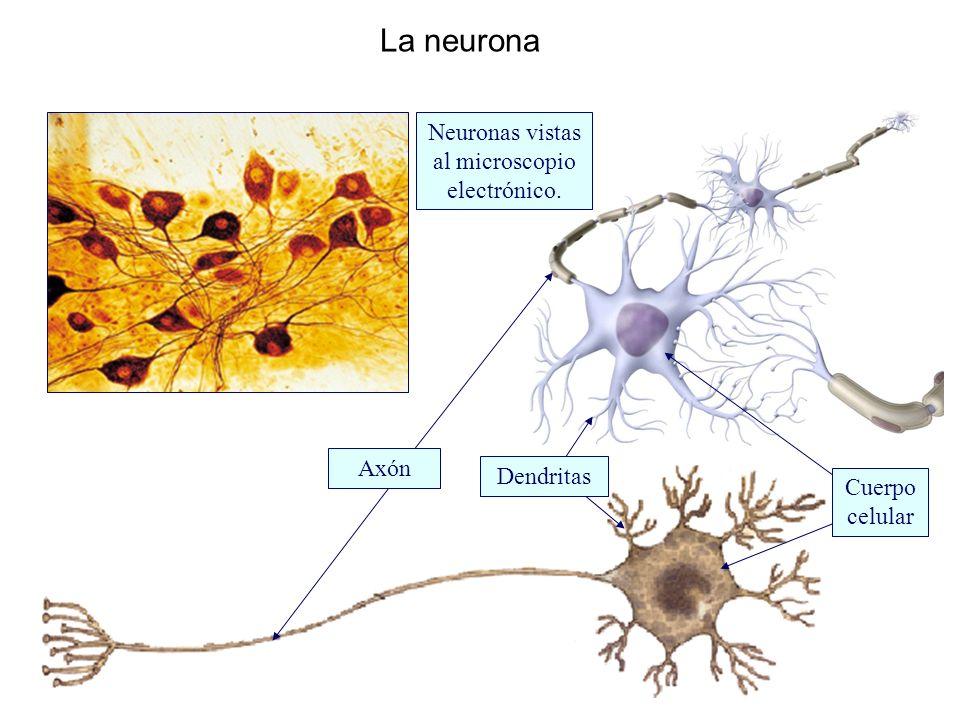 La neurona Neuronas vistas al microscopio electrónico. Axón Dendritas Cuerpo celular