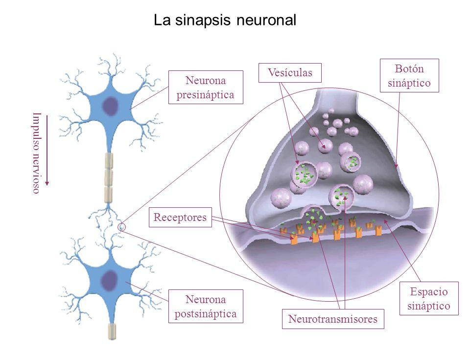 La sinapsis neuronal Impulso nervioso Neurona presináptica Neurona postsináptica Neurotransmisores Vesículas Botón sináptico Espacio sináptico Recepto