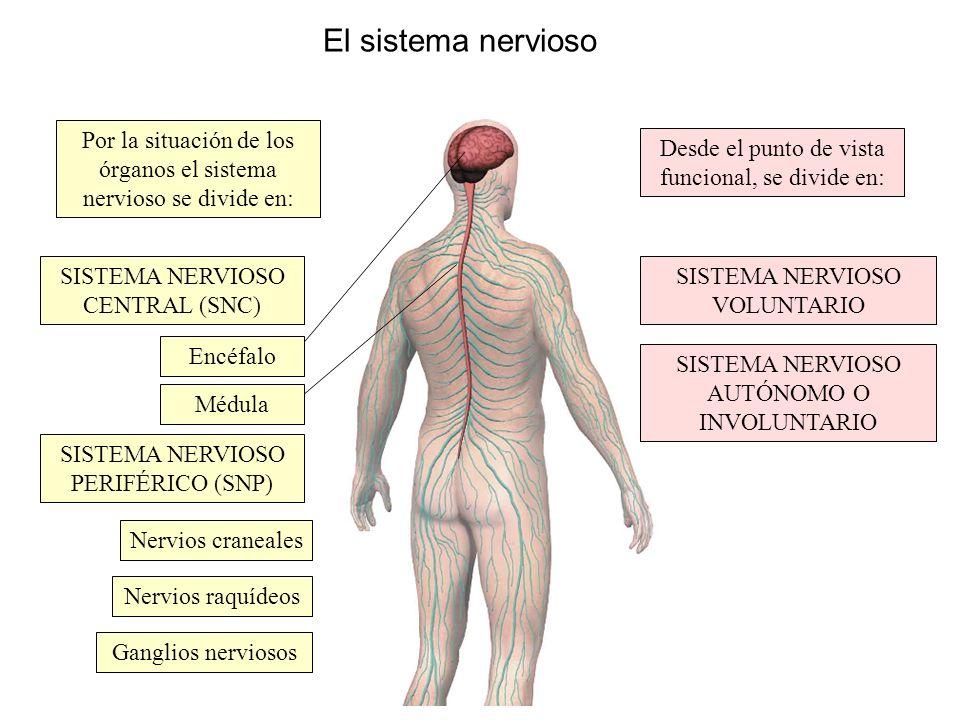 El sistema nervioso Por la situación de los órganos el sistema nervioso se divide en: Desde el punto de vista funcional, se divide en: SISTEMA NERVIOS