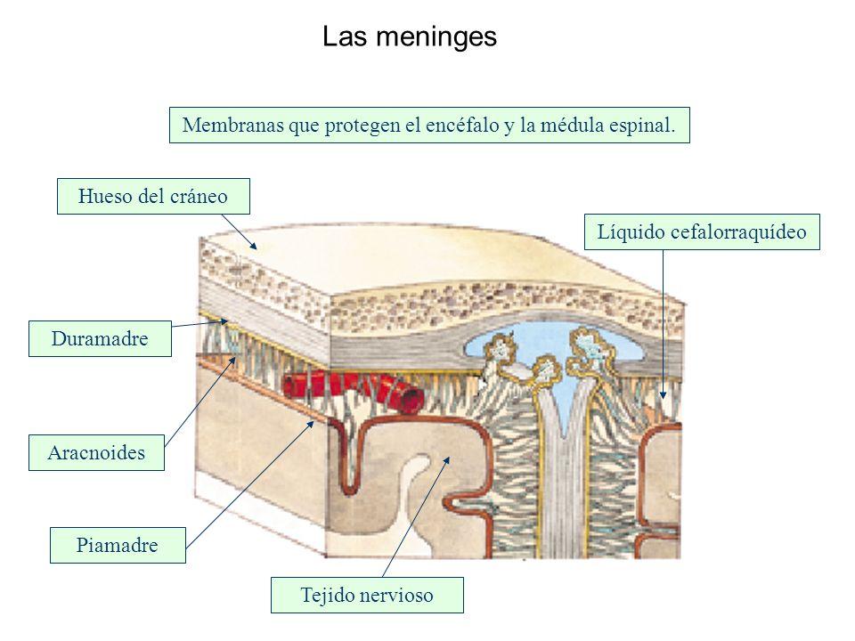 Las meninges Membranas que protegen el encéfalo y la médula espinal. Hueso del cráneo Tejido nervioso Aracnoides Piamadre Duramadre Líquido cefalorraq