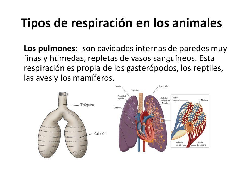 Los pulmones: son cavidades internas de paredes muy finas y húmedas, repletas de vasos sanguíneos. Esta respiración es propia de los gasterópodos, los