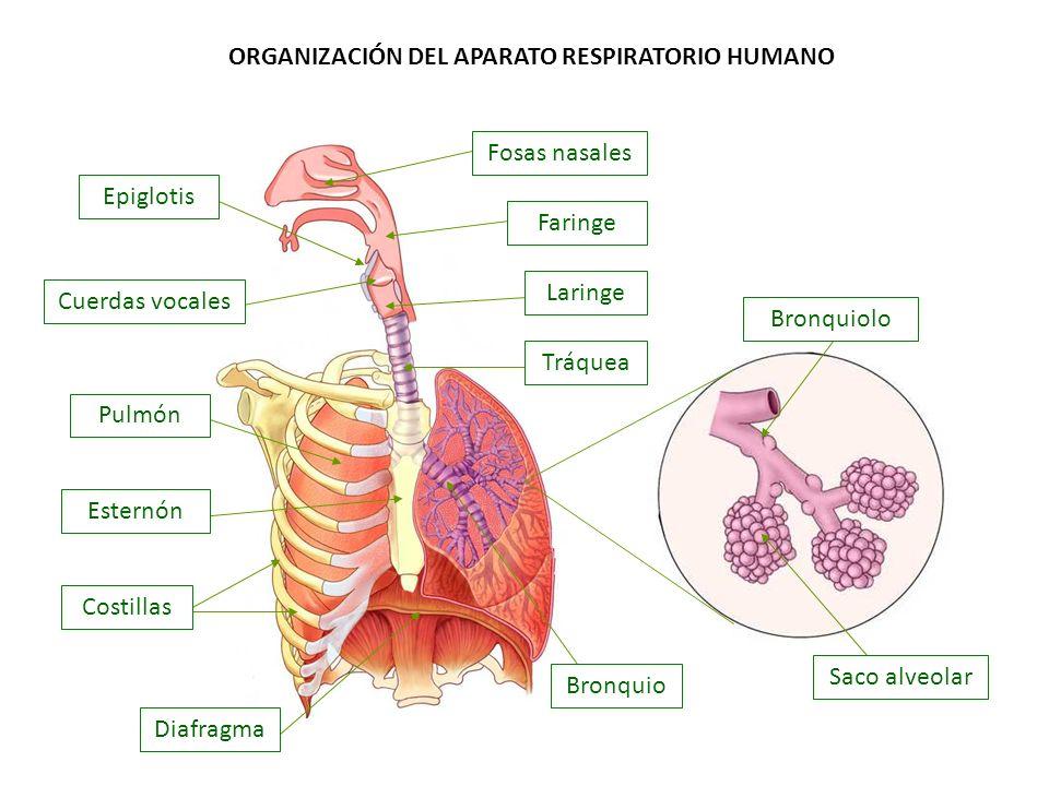 ORGANIZACIÓN DEL APARATO RESPIRATORIO HUMANO Faringe Fosas nasales Laringe Saco alveolar Bronquiolo Bronquio Tráquea Cuerdas vocales Epiglotis Pulmón