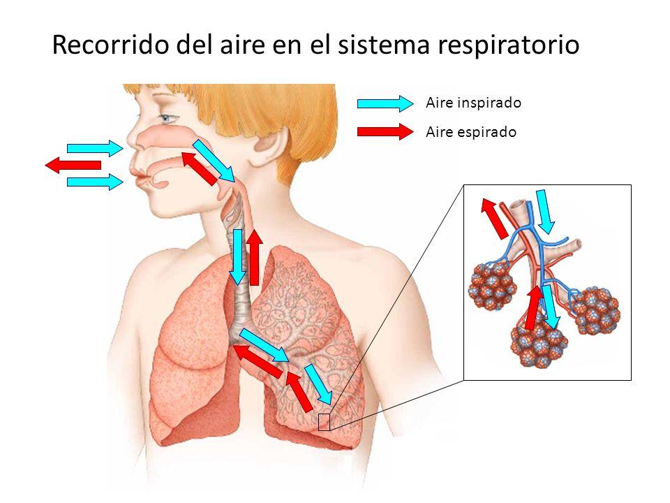 Recorrido del aire en el sistema respiratorio Aire inspirado Aire espirado