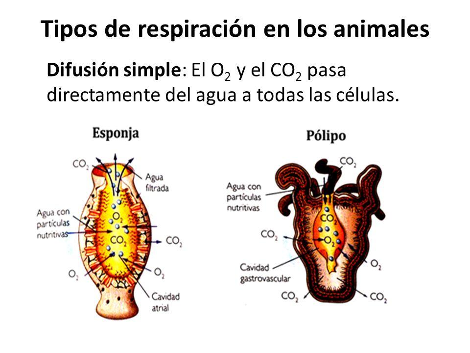 Tipos de respiración en los animales Difusión simple: El O 2 y el CO 2 pasa directamente del agua a todas las células.