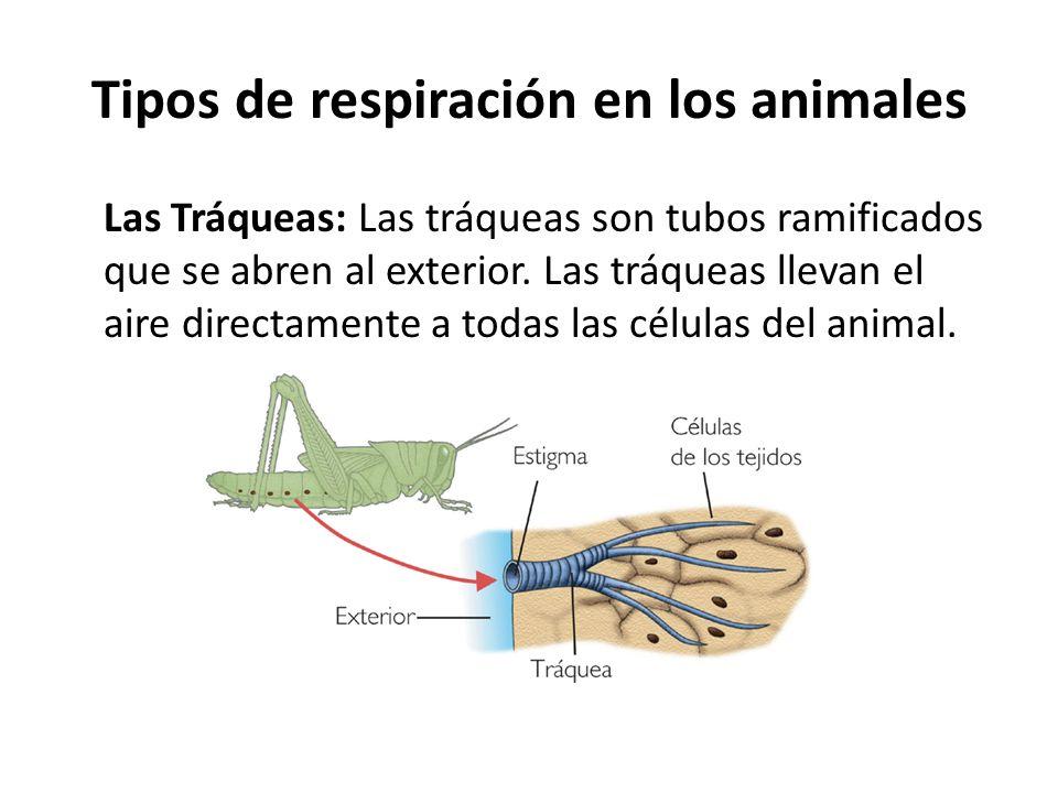Las Tráqueas: Las tráqueas son tubos ramificados que se abren al exterior. Las tráqueas llevan el aire directamente a todas las células del animal. Ti
