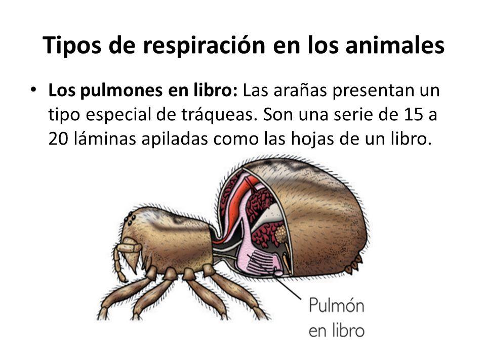 Los pulmones en libro: Las arañas presentan un tipo especial de tráqueas. Son una serie de 15 a 20 láminas apiladas como las hojas de un libro. Tipos