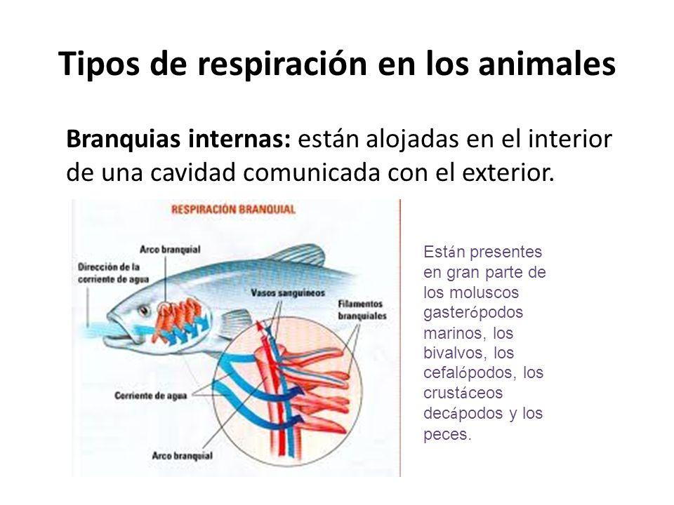 Branquias internas: están alojadas en el interior de una cavidad comunicada con el exterior. Tipos de respiración en los animales Est á n presentes en