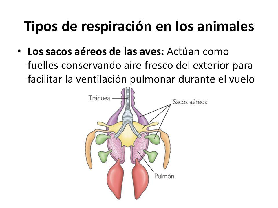 Los sacos aéreos de las aves: Actúan como fuelles conservando aire fresco del exterior para facilitar la ventilación pulmonar durante el vuelo Tipos d