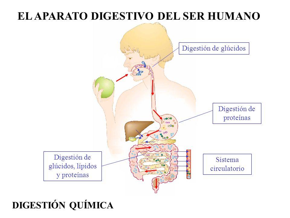 EL APARATO DIGESTIVO DEL SER HUMANO Digestión de glúcidos Digestión de proteínas Digestión de glúcidos, lípidos y proteínas Sistema circulatorio DIGES