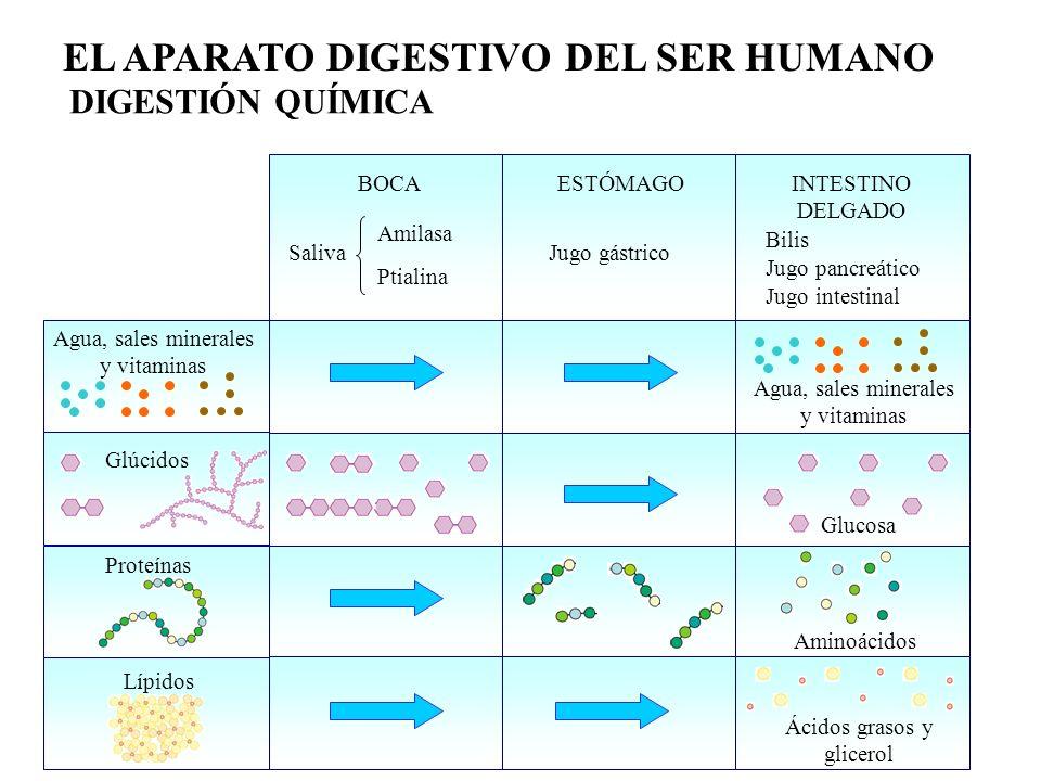 EL APARATO DIGESTIVO DEL SER HUMANO Glúcidos Proteínas Lípidos Agua, sales minerales y vitaminas BOCA Saliva Amilasa Ptialina Glucosa ESTÓMAGOINTESTIN