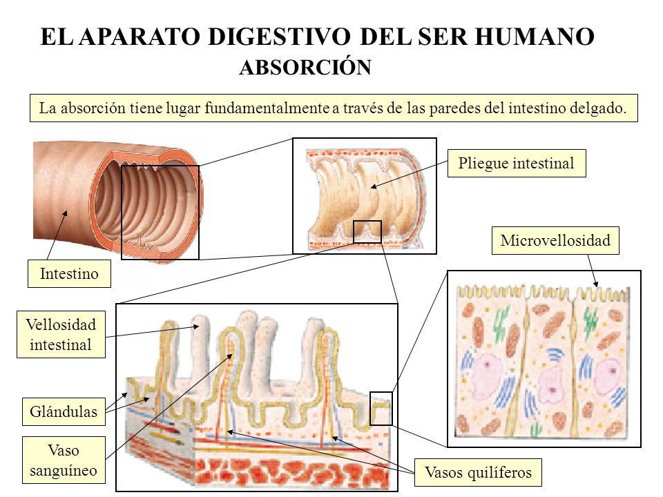 La absorción tiene lugar fundamentalmente a través de las paredes del intestino delgado. Pliegue intestinal Intestino Microvellosidad Glándulas Vasos