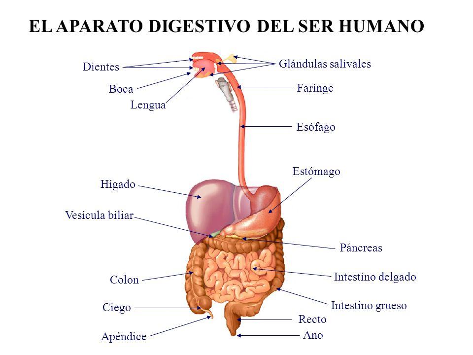 Parte inicial del intestino delgado.Se encuentra a continuación del estómago.