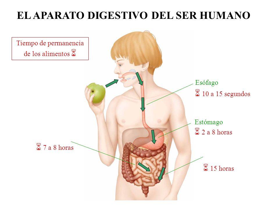 Hígado Páncreas Vesícula biliar Produce la bilis que emulsiona las grasas y se almacena en la vesícula biliar.