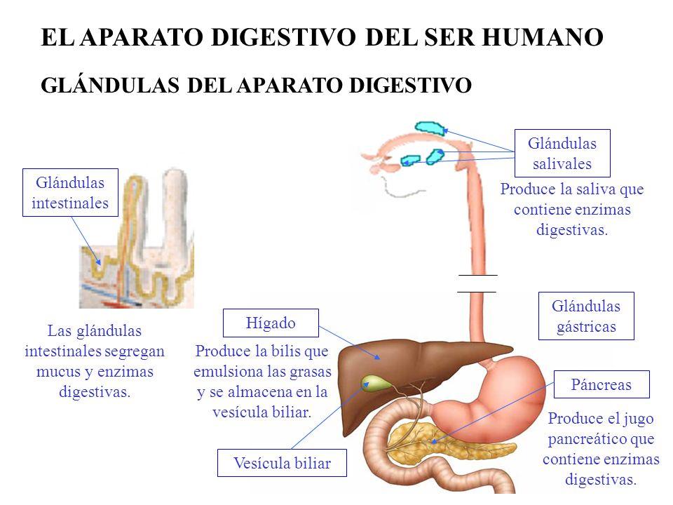Hígado Páncreas Vesícula biliar Produce la bilis que emulsiona las grasas y se almacena en la vesícula biliar. Produce la saliva que contiene enzimas
