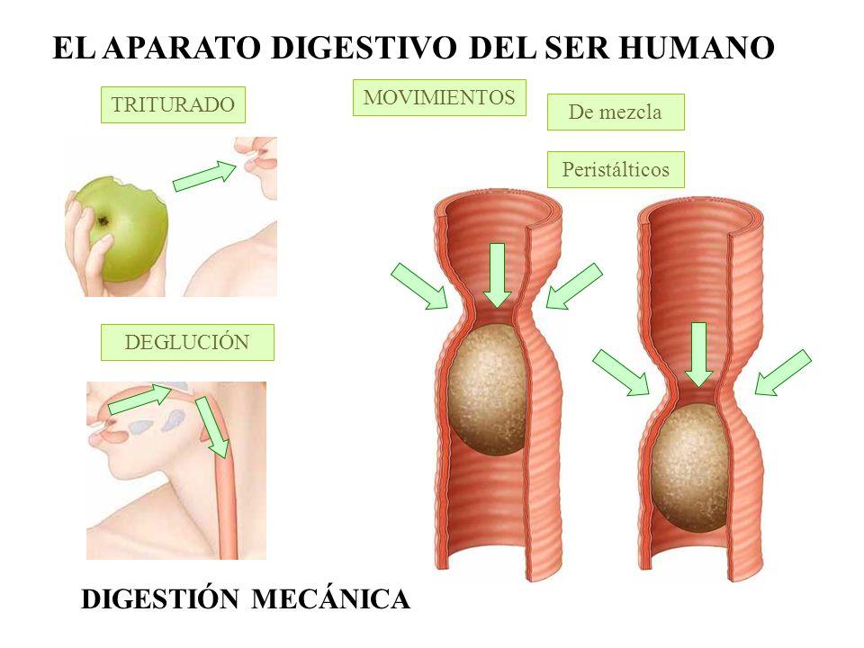 EL APARATO DIGESTIVO DEL SER HUMANO Digestión de glúcidos Digestión de proteínas Digestión de glúcidos, lípidos y proteínas Sistema circulatorio DIGESTIÓN QUÍMICA