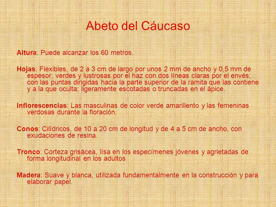 Abeto del Cáucaso Altura: Puede alcanzar los 60 metros. Hojas: Flexibles, de 2 a 3 cm de largo por unos 2 mm de ancho y 0,5 mm de espesor; verdes y lu