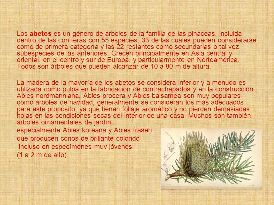 Los abetos es un género de árboles de la familia de las pináceas, incluida dentro de las coníferas con 55 especies, 33 de las cuales pueden considerar