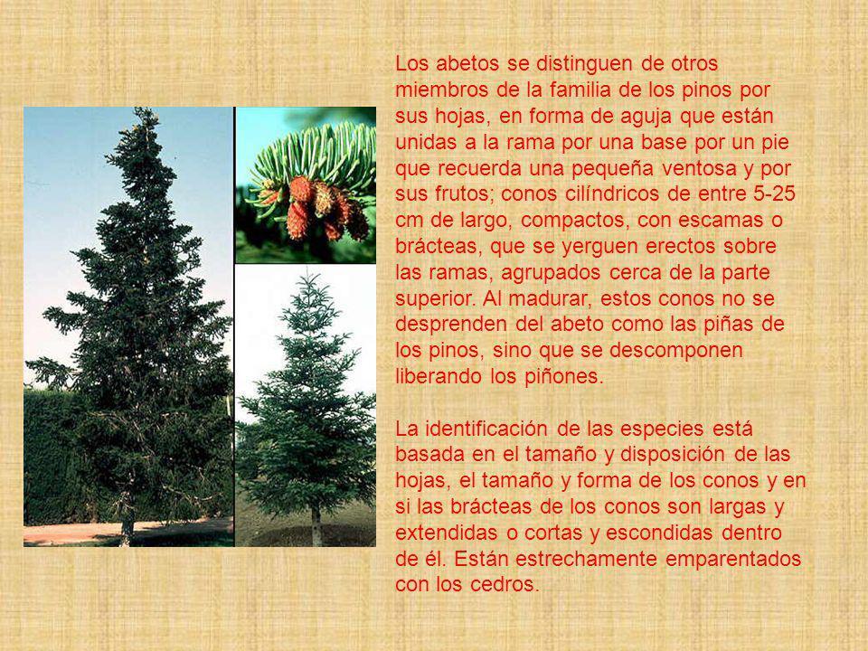 Los abetos se distinguen de otros miembros de la familia de los pinos por sus hojas, en forma de aguja que están unidas a la rama por una base por un
