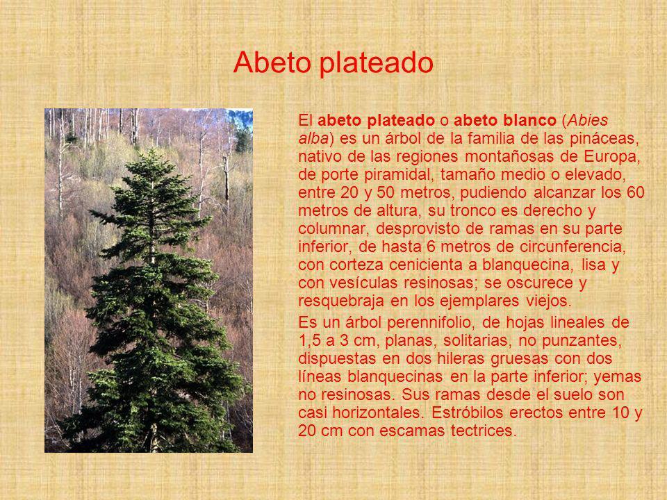 Abeto plateado El abeto plateado o abeto blanco (Abies alba) es un árbol de la familia de las pináceas, nativo de las regiones montañosas de Europa, d