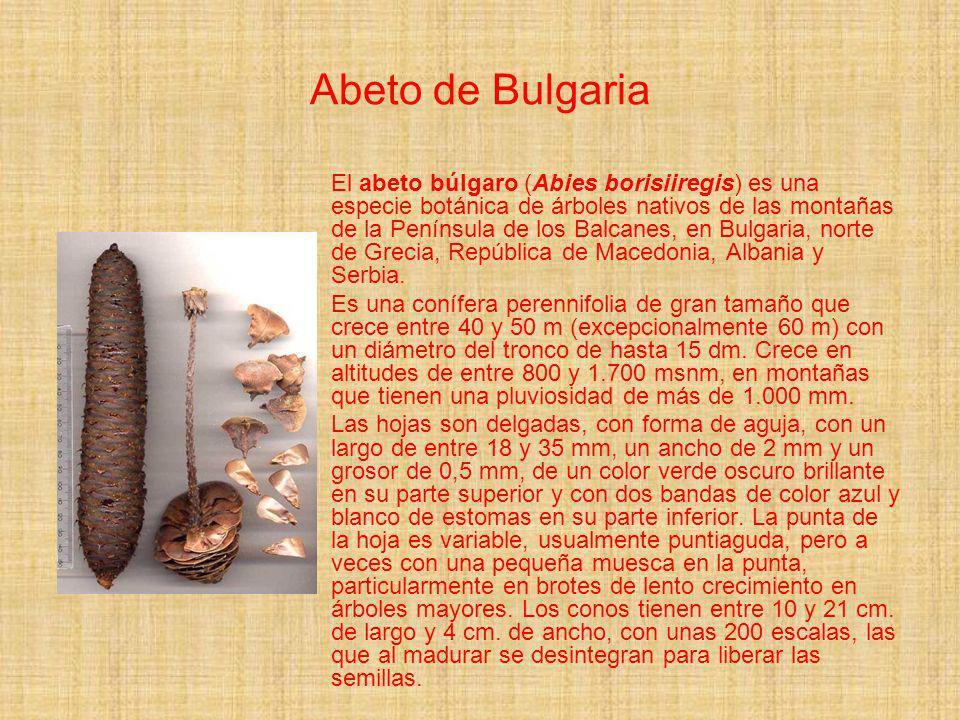 Abeto de Bulgaria El abeto búlgaro (Abies borisiiregis) es una especie botánica de árboles nativos de las montañas de la Península de los Balcanes, en