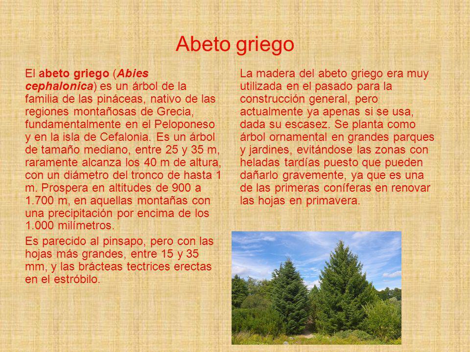 Abeto griego El abeto griego (Abies cephalonica) es un árbol de la familia de las pináceas, nativo de las regiones montañosas de Grecia, fundamentalme