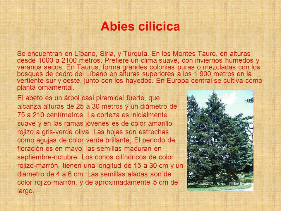 Abies cilicica Se encuentran en Líbano, Siria, y Turquía. En los Montes Tauro, en alturas desde 1000 a 2100 metros. Prefiere un clima suave, con invie