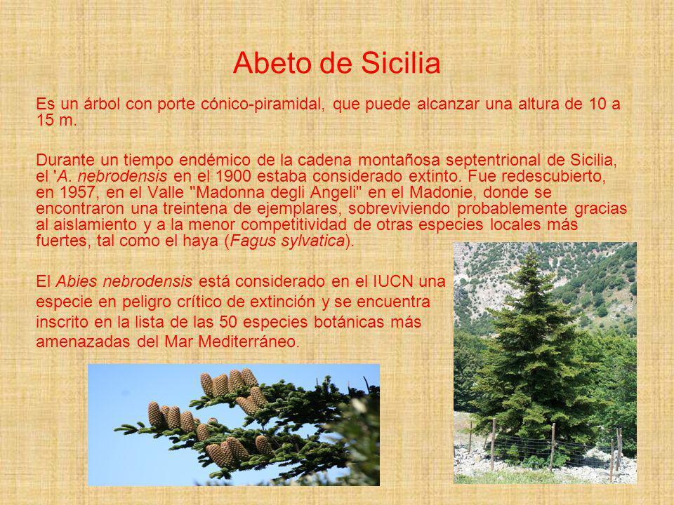 Abeto de Sicilia Es un árbol con porte cónico-piramidal, que puede alcanzar una altura de 10 a 15 m. Durante un tiempo endémico de la cadena montañosa