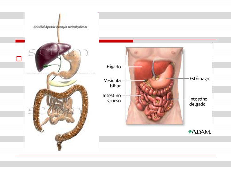El tubo digestivo y las glándulas anexas (glándulas salivales, hígado y páncreas) forman el aparato digestivo.