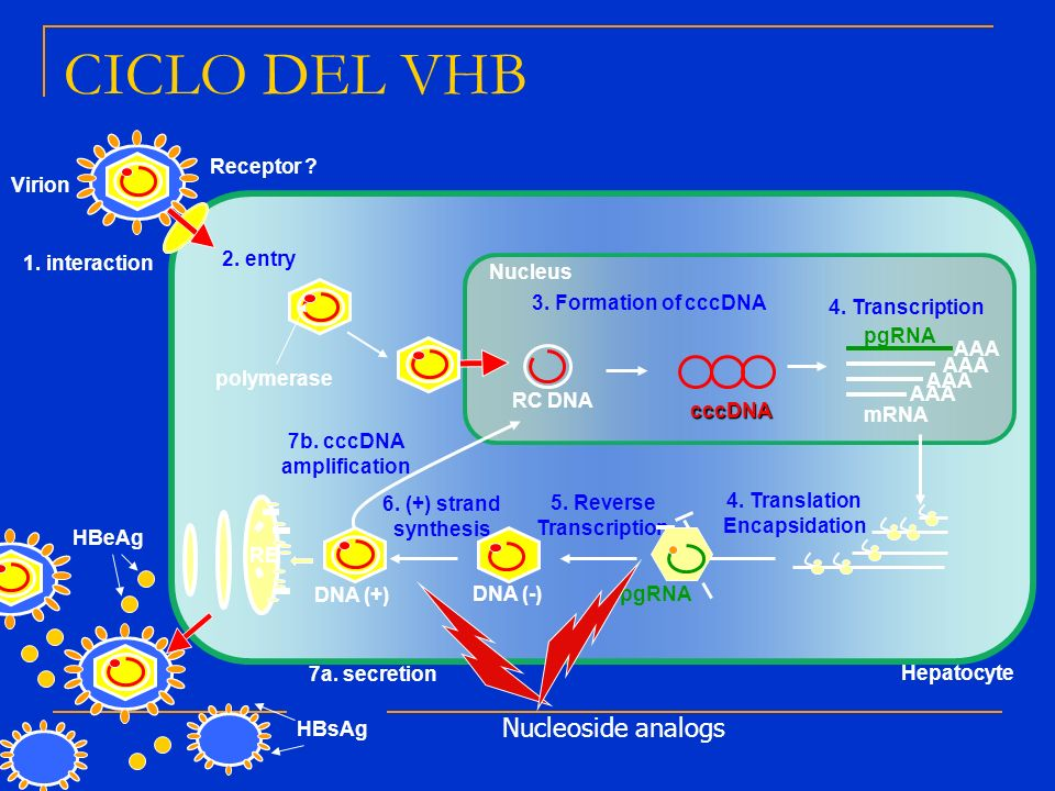 Receptor ? 1. interaction Virion Nucleus Hepatocyte 4. Translation Encapsidation 5. Reverse Transcription pgRNA DNA (-) 7b. cccDNA amplification mRNA