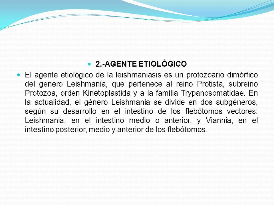 2.-AGENTE ETIOLÓGICO El agente etiológico de la leishmaniasis es un protozoario dimórfico del genero Leishmania, que pertenece al reino Protista, subr