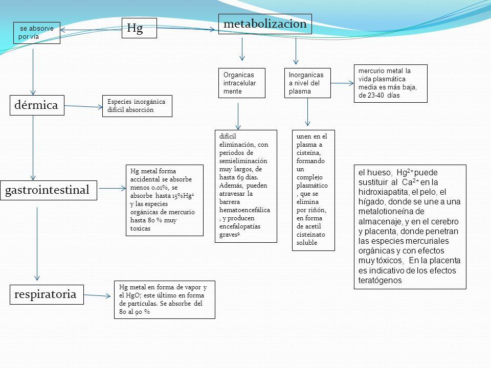 Hg se absorve por vía dérmica gastrointestinal respiratoria Hg metal forma accidental se absorbe menos 0.01%, se absorbe hasta 15%Hg 2 y las especies