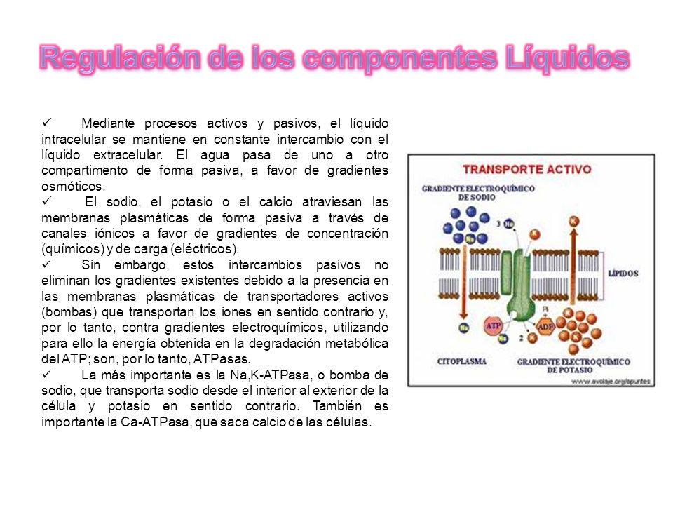 Mediante procesos activos y pasivos, el líquido intracelular se mantiene en constante intercambio con el líquido extracelular. El agua pasa de uno a o