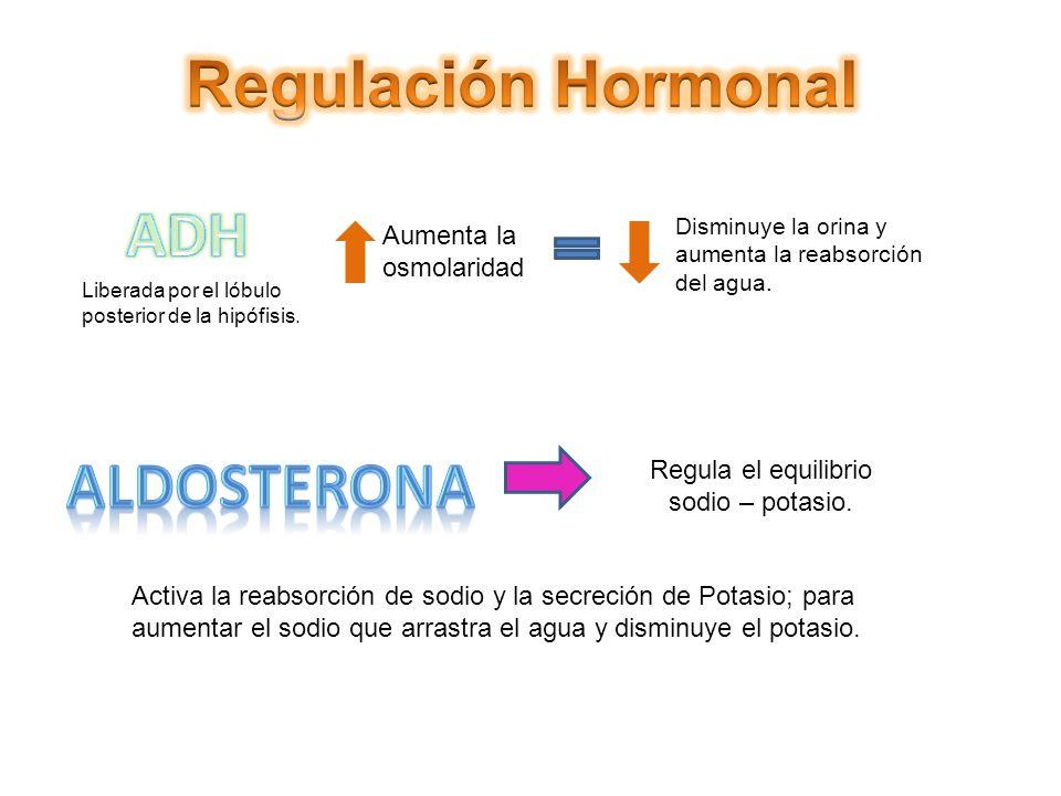 Liberada por el lóbulo posterior de la hipófisis. Aumenta la osmolaridad Disminuye la orina y aumenta la reabsorción del agua. Regula el equilibrio so