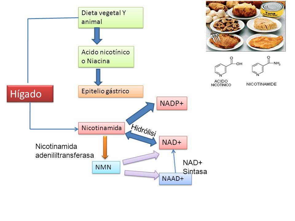 Dieta vegetal Y animal Acido nicotínico o Niacina Epitelio gástrico Nicotinamida Hígado NAD+ NADP+ Hidrólisi s NMN Nicotinamida adenililtransferasa NA