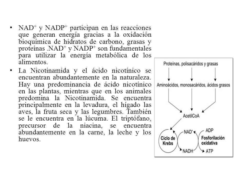 NAD + y NADP + participan en las reacciones que generan energía gracias a la oxidación bioquímica de hidratos de carbono, grasas y proteínas.NAD + y N