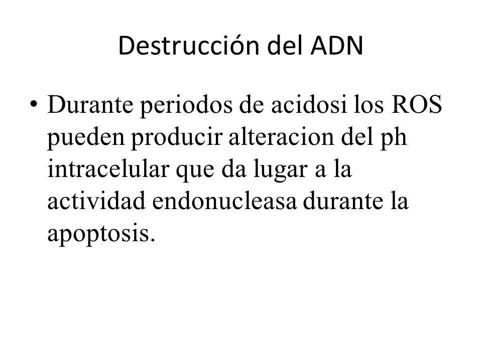 Destrucción del ADN Durante periodos de acidosi los ROS pueden producir alteracion del ph intracelular que da lugar a la actividad endonucleasa durant