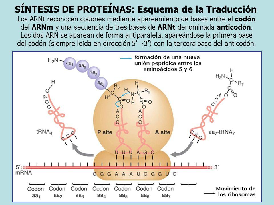 SÍNTESIS DE PROTEÍNAS: Esquema de la Traducción Los ARNt reconocen codones mediante apareamiento de bases entre el codón del ARNm y una secuencia de t