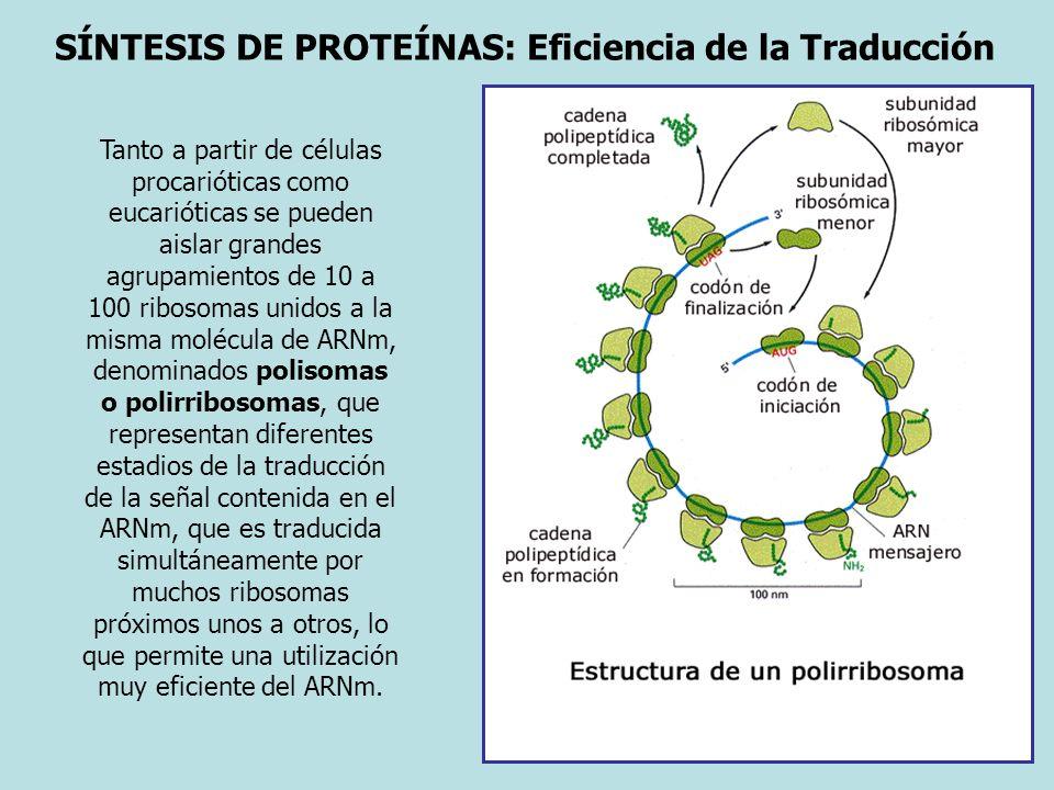 SÍNTESIS DE PROTEÍNAS: Eficiencia de la Traducción Tanto a partir de células procarióticas como eucarióticas se pueden aislar grandes agrupamientos de