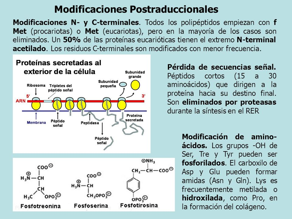 Modificaciones Postraduccionales Pérdida de secuencias señal. Péptidos cortos (15 a 30 aminoácidos) que dirigen a la proteína hacia su destino final.