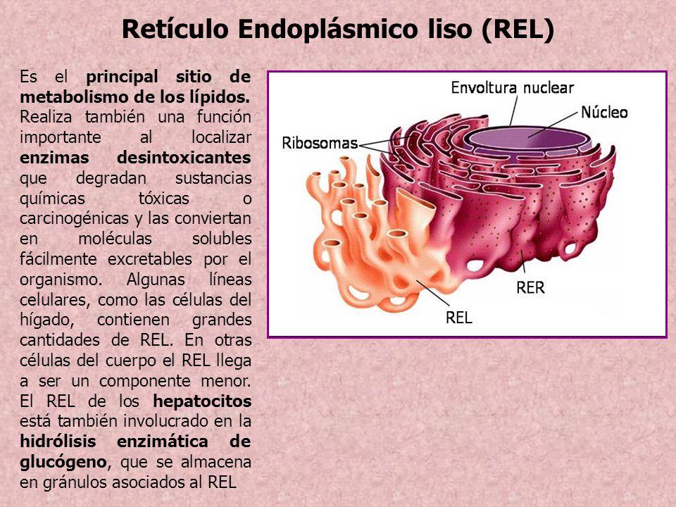 Retículo Endoplásmico liso (REL) Es el principal sitio de metabolismo de los lípidos. Realiza también una función importante al localizar enzimas desi