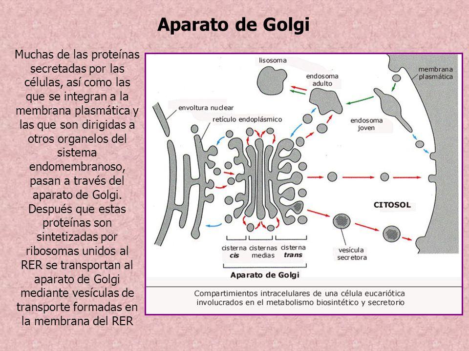 Aparato de Golgi Muchas de las proteínas secretadas por las células, así como las que se integran a la membrana plasmática y las que son dirigidas a o