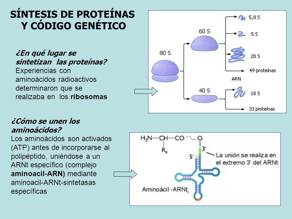 SÍNTESIS DE PROTEÍNAS Y CÓDIGO GENÉTICO ¿En qué lugar se sintetizan las proteínas? Experiencias con aminoácidos radioactivos determinaron que se reali