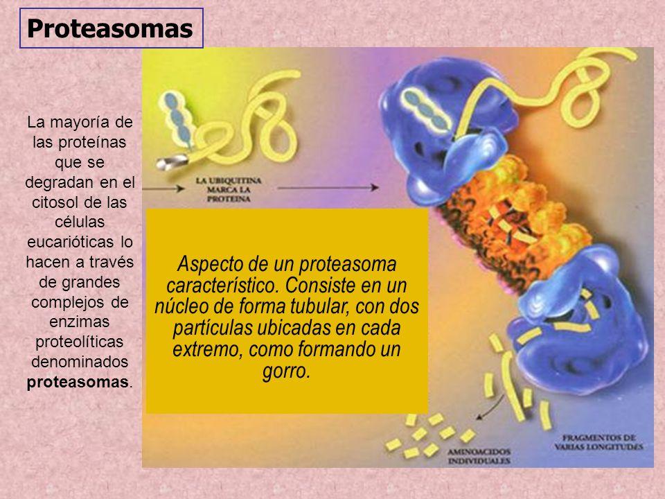 Aspecto de un proteasoma característico. Consiste en un núcleo de forma tubular, con dos partículas ubicadas en cada extremo, como formando un gorro.