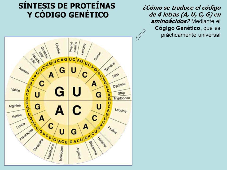 SÍNTESIS DE PROTEÍNAS Y CÓDIGO GENÉTICO ¿Cómo se traduce el código de 4 letras (A, U, C, G) en aminoácidos? Mediante el Cógigo Genético, que es prácti