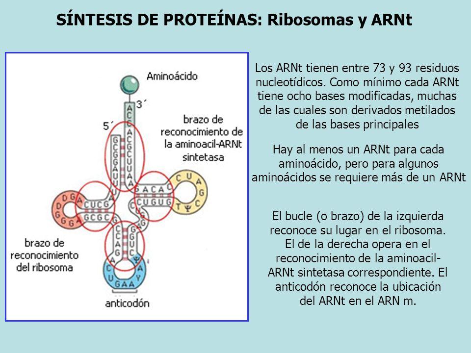 SÍNTESIS DE PROTEÍNAS: Ribosomas y ARNt Los ARNt tienen entre 73 y 93 residuos nucleotídicos. Como mínimo cada ARNt tiene ocho bases modificadas, much