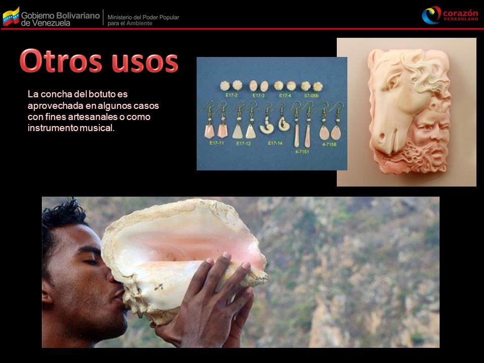 La concha del botuto es aprovechada en algunos casos con fines artesanales o como instrumento musical.