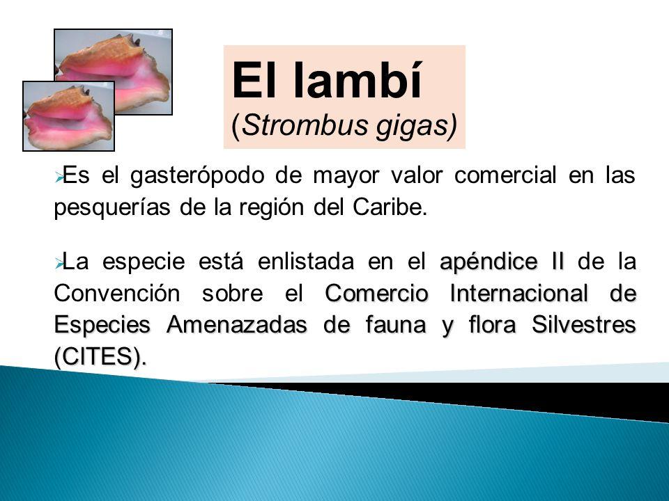 Es el gasterópodo de mayor valor comercial en las pesquerías de la región del Caribe. apéndice II Comercio Internacional de Especies Amenazadas de fau
